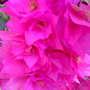 Pink Bougainvillea (Bougainvillea Comm. ex. Juss.)