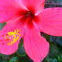 Red hibiscus w/ honey bee