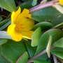 Purslane- yellow flower (Portulaca oleracea (Ancharupa))