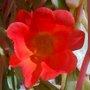 Purslane- red flower (Portulaca oleracea (Ancharupa))