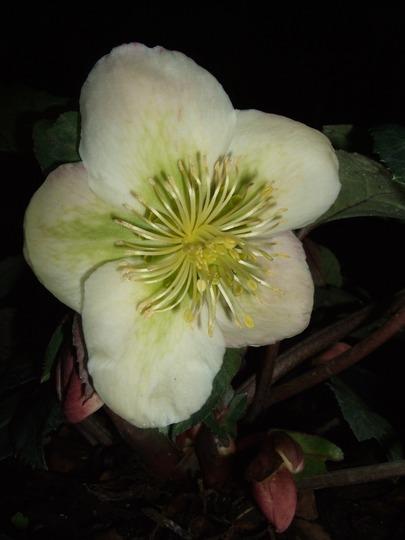 Helleborus x hybridus 'Winter Moonbeam' (Helleborus x hybridus)