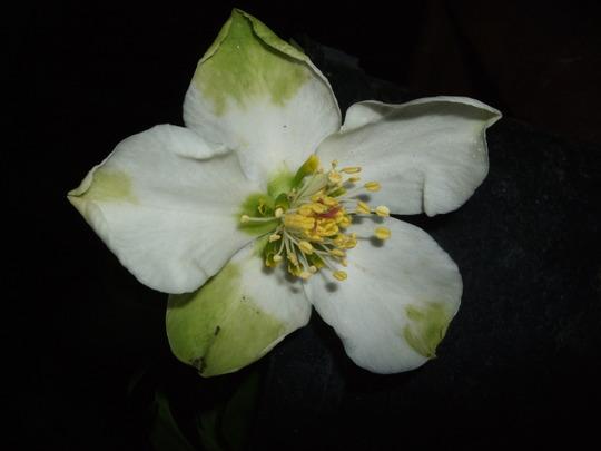 Helleborus niger 'Praecox' (Helleborus niger)