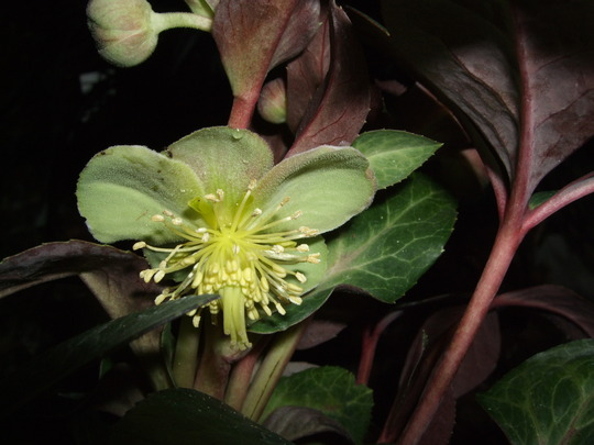 Helleborus argutifolius 'Silver Lace' (Helleborus argutifolius)
