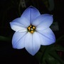 Ipheion 'Rolf Fiedler' (Ipheion uniflorum (Ipheion))