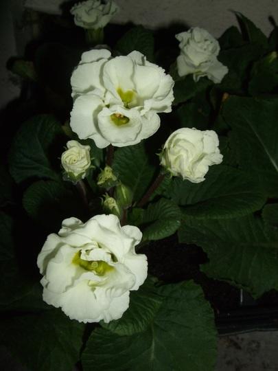 White Primlets