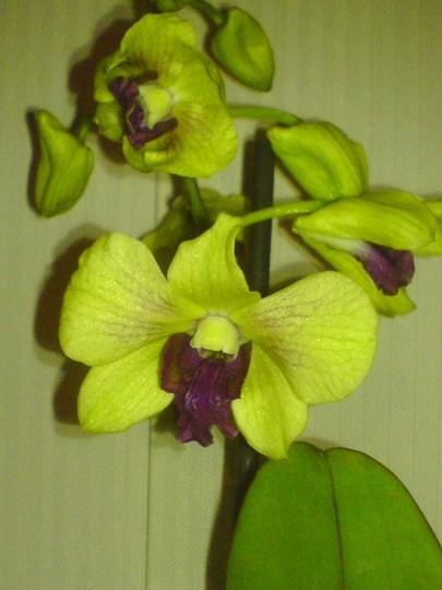 Dendrobium (Orchid)