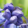 Blue Bell Bud :)