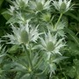 Eryngium giganteum 'Miss Wilmott's Ghost' (Eryngium giganteum 'Miss Wilmott's Ghost')