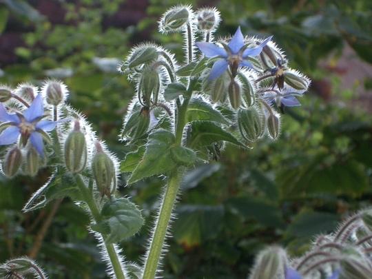 Borago officinalis  (Borago officinalis)