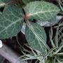 Silver_lace_leaf