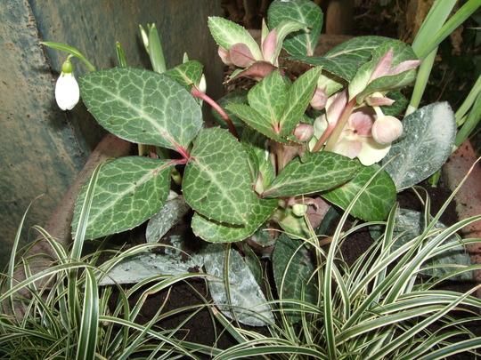 Plants in the small pot (Helleborus argutifolius)