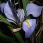 Iris unguicularis (Iris unguicularis (Iris))