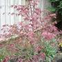 A garden flower photo (Acer palmatum)