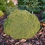 Picea glauca 'Tiny'