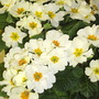 Primulas