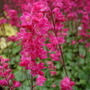 Heuchera Strawberry candy
