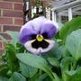 A garden flower photo (viola)