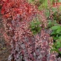 Heuchera Gypsy Dancer