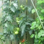Tomatoes finally ripening