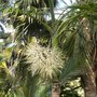 Hyophorbe indica - Champagne Palm at San Diego Zoo (Hyophorbe indica - Champagne Palm)