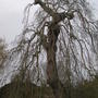 Old Ash tree (Fraxinus excelsior (Common Ash) pendula)
