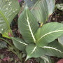 Dieffenbachia &#x27;Sterling&#x27; - Sterling Dumbcane (Dieffenbachia &#x27;Sterling&#x27; - Sterling Dumbcane)