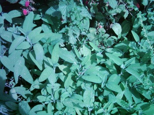 A garden flower photo (Salvia latifolia )