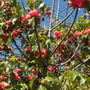 Dombeya cacuminum - Strawberry Dombeya  (Dombeya cacuminum - Strawberry Dombeya)