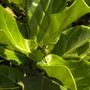 Ficus lyrata - Fiddle-Leaf Fig (Ficus lyrata - Fiddle-Leaf Fig)