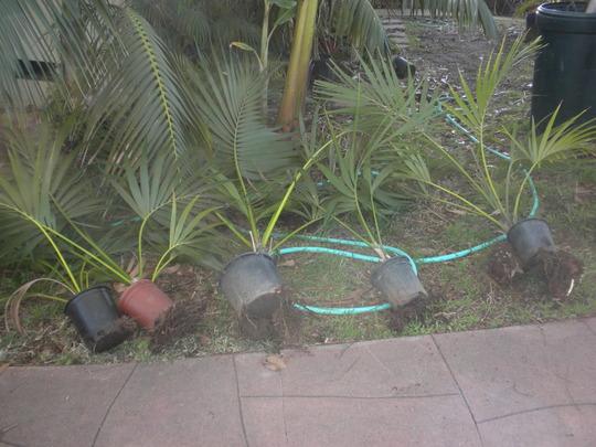 Howea fosteriana - Kentia Palms in my front yard (Howea fosteriana - Kentia Palm)