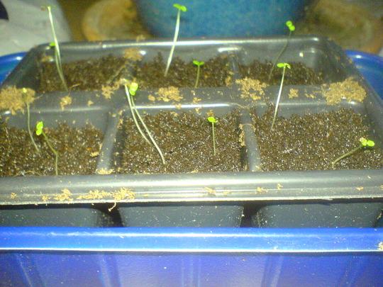 Aserina seedlings