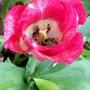 21_4_26.jpg (Tulipa)