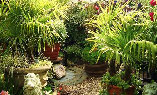 Jen's Gardyn 2009 (Trachycarpus fortunei (Chusan palm))