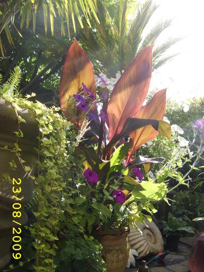 Jen's Gardyn 2009 (Canna indica (Indian shot plant))