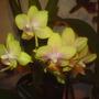 Phalaenopsis (Orchid)