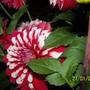 double colour dahlia