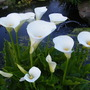 Calla Palustris 2009