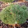 Pinus sylvestris (Big Boy)
