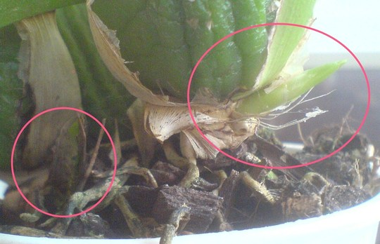 New flower spikes on Oncidium