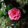 Camelliajaponicarubescensmajor