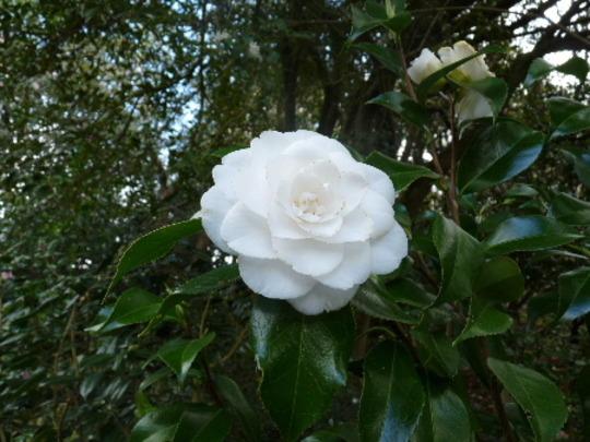 Camellia japonica Shiro-daikagura