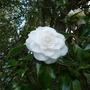 Camelliajaponicashiro_daikagura