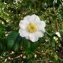 Camelliajaponicayukima_guruma