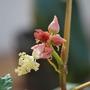 Ricinus (Ricinus communis (Castor oil plant))