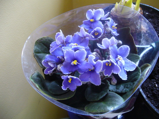a frilly one (Saintpaulia African violets)