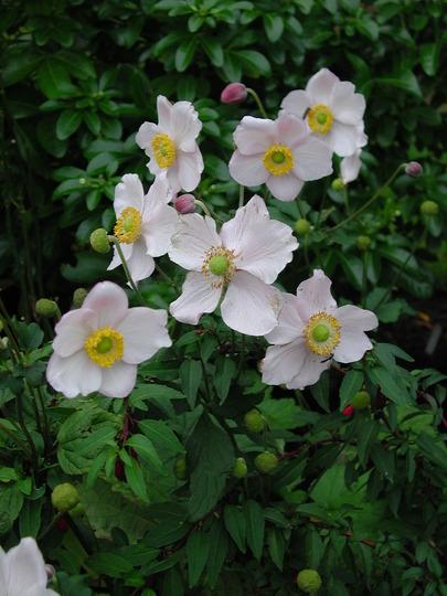 Anemone 'Honorine Jobert' (Anemone Honorine Jobert)