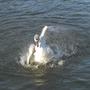 Swan Splash