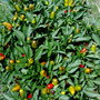 my chilli plant (Capsicum frutescens (Chilli))