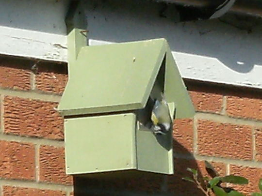 Blue tit looking in one of my nesting boxes