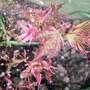 Acer 'Beni Maiko'  (Acer palmatum (Japanese maple))